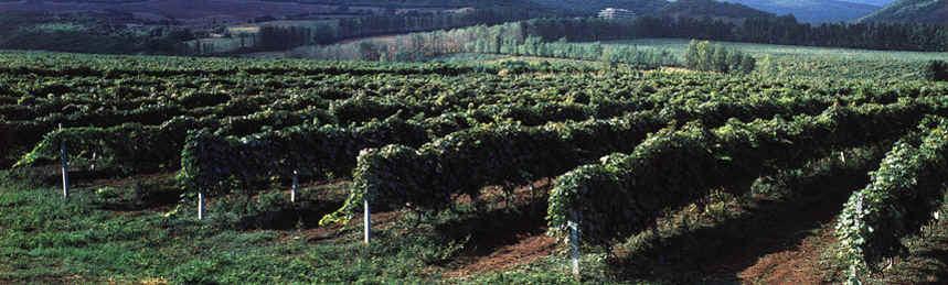 Georgian vinyard.jpg